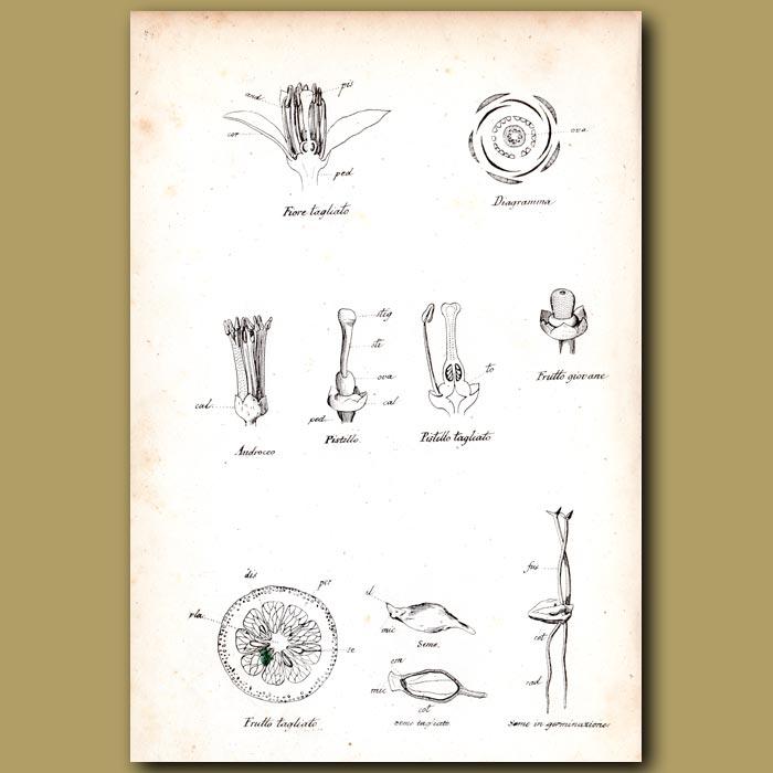 Antique print. Botany of Orange Fruit and Flowers
