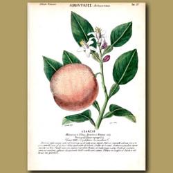 Auriantiacee. Orange Fruit and Flowers