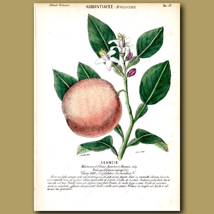 Antique print. Auriantiacee. Orange Fruit and Flowers