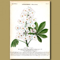 Horse Chesnut Tree Flowers