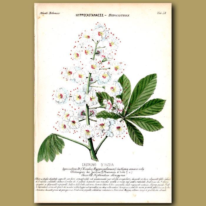 Antique print. Horse Chesnut Tree Flowers
