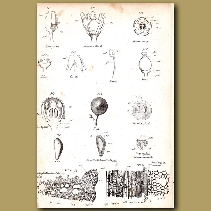 Antique print. Botany of Grape