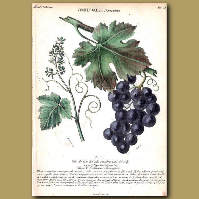 Antique print. Grapes