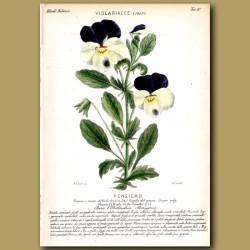 Pansy (Viola) Flowers