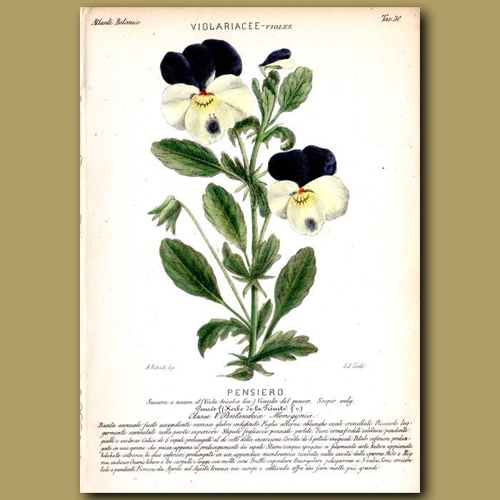 Antique print. Pansy (Viola) Flowers
