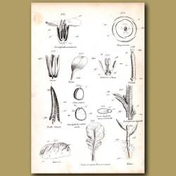 Botany of Wallflowers
