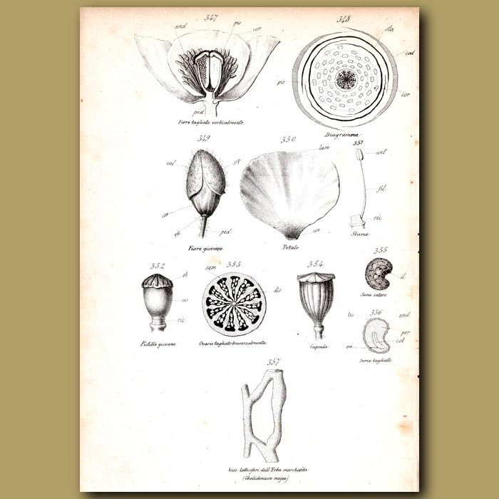 Antique print. Botany of Poppy Flower and Seeds