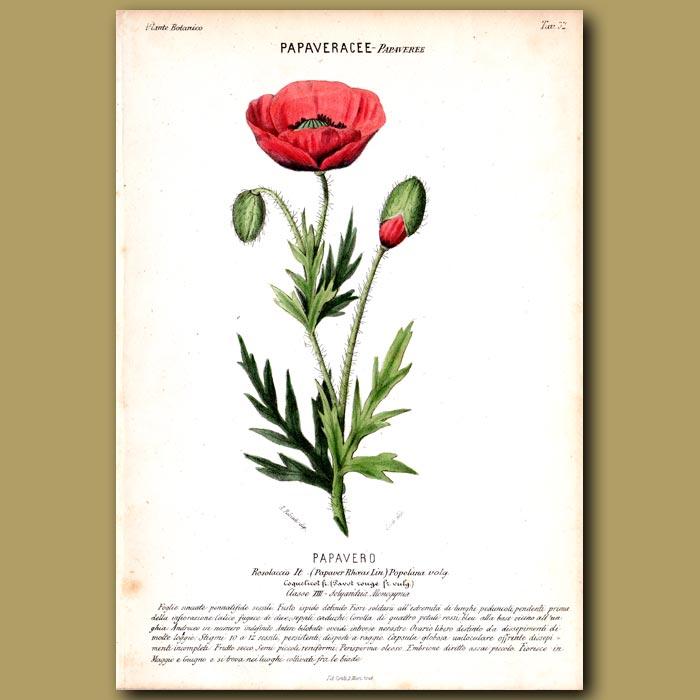 Antique print. Poppy Flower