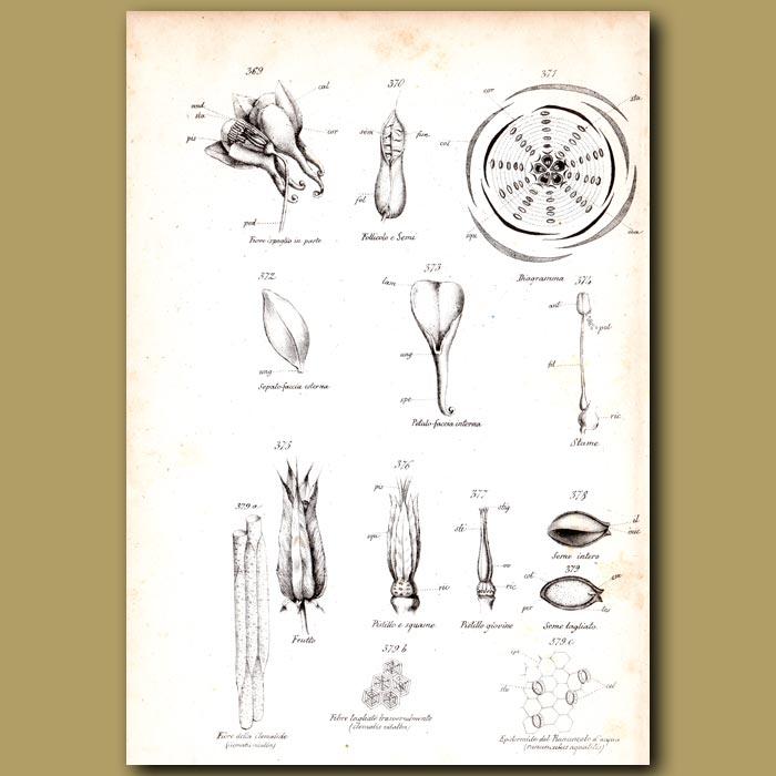 Antique print. Botany of Aquilegia
