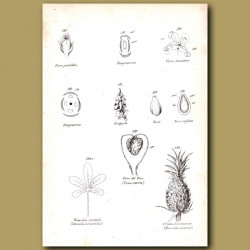 Botany of Plants Including Pineapple