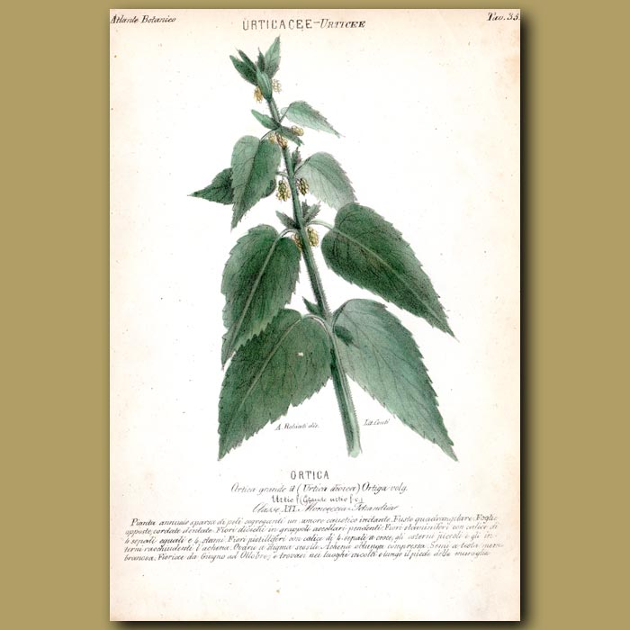 Antique print. Stinging Nettle Flowers