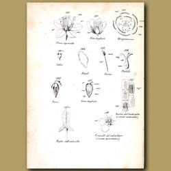 Botany of Buckwheat