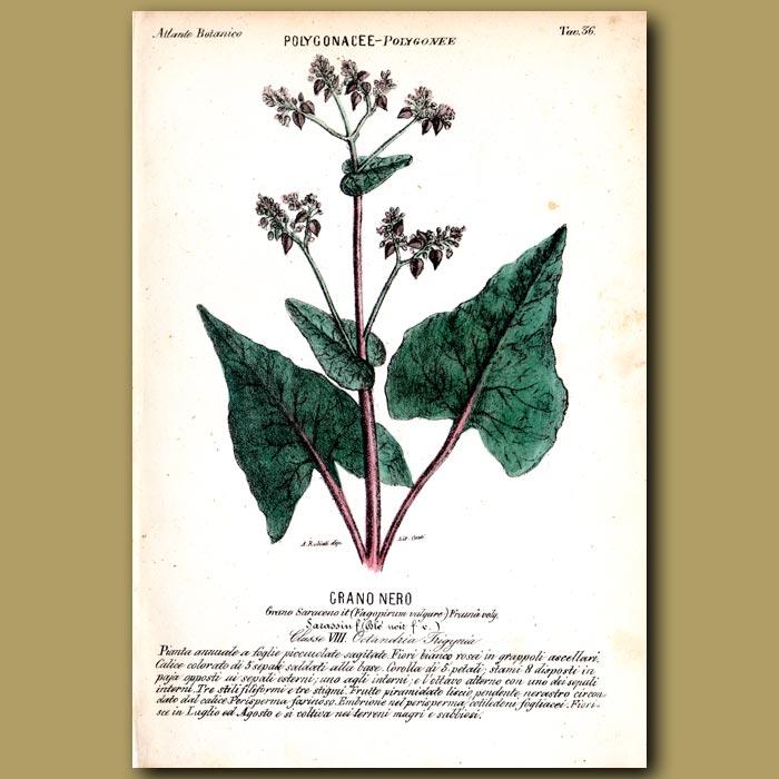 Antique print. Buckwheat