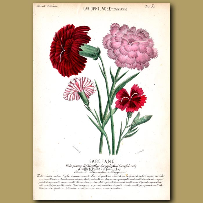 Antique print. Carnations