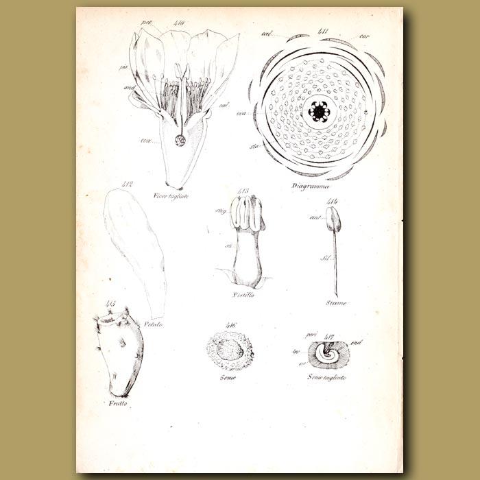 Antique print. Botany of Cactus Opuntia