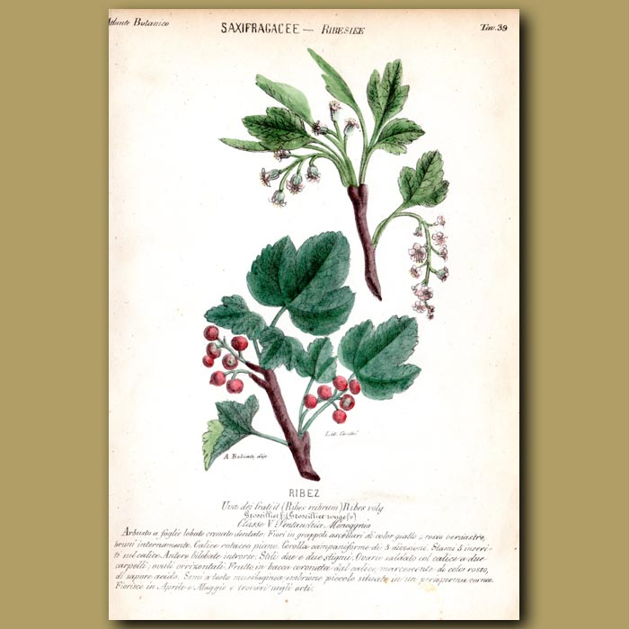 Antique print. Redcurrants