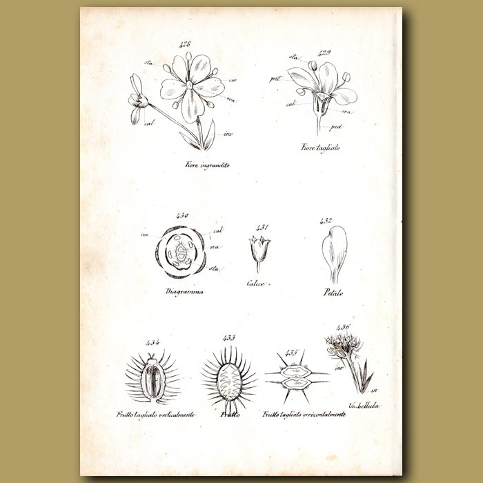 Antique print. Botany of Carrot Flowers