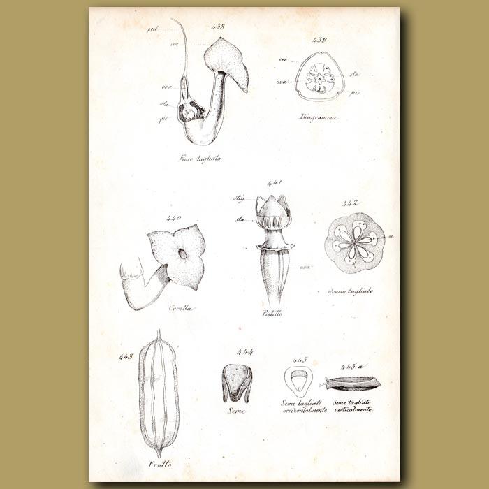 Antique print. Botany of Aristolochia sipho