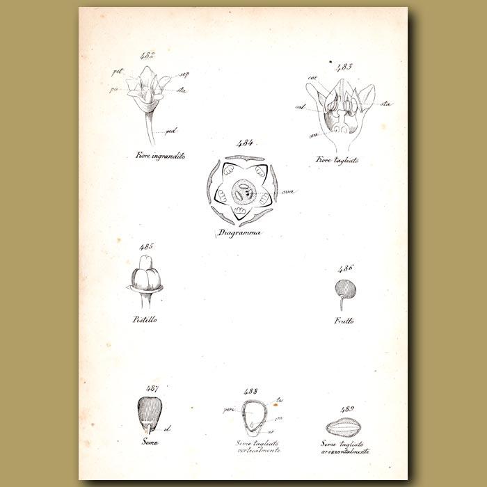 Antique print. Botany of Buckthorn