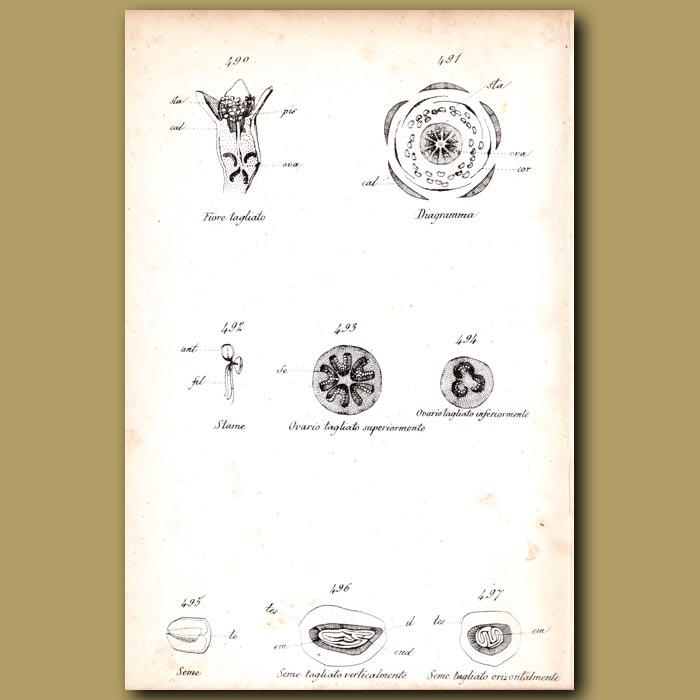 Antique print. Botany of Pomegranate