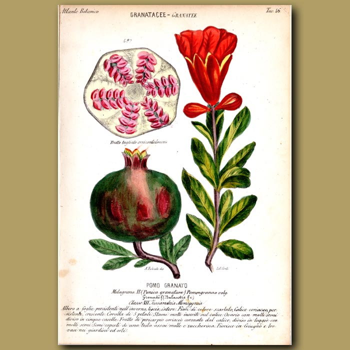Antique print. Pomegranate Fruit and Flowers
