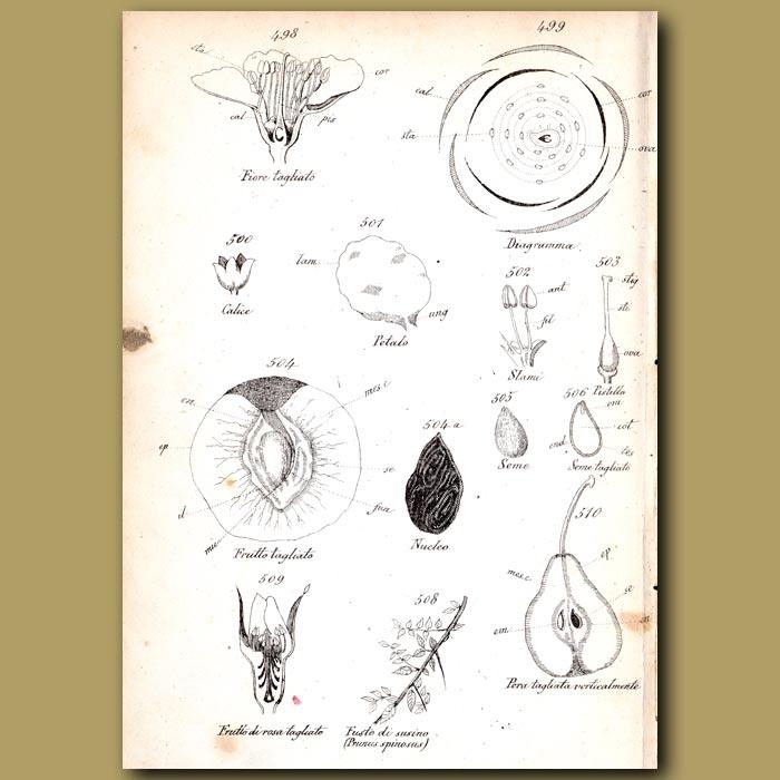 Antique print. Botany of Peach
