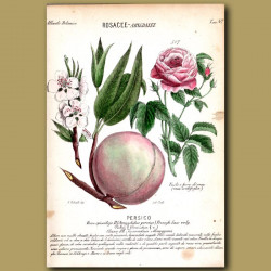 Peach Flowers and Fruit
