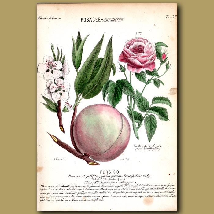Antique print. Peach Flowers and Fruit