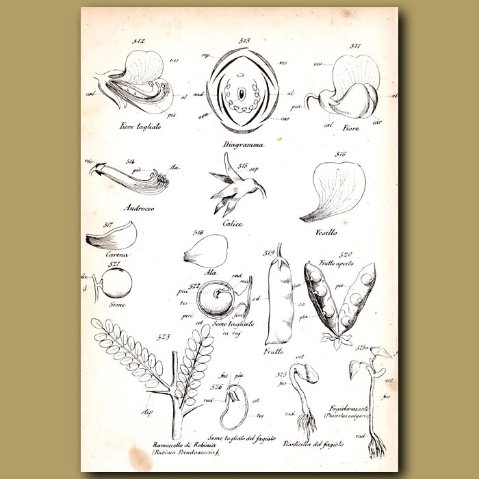 Antique print. Botany of Pea and Pea Flowers