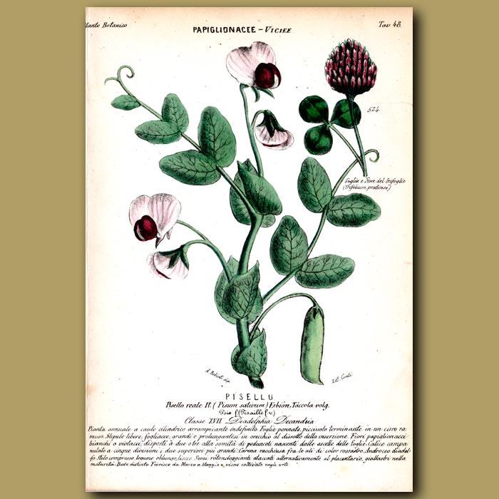 Antique print. Garden Pea