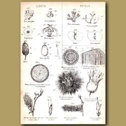 Botany of Oak and Silver Birch