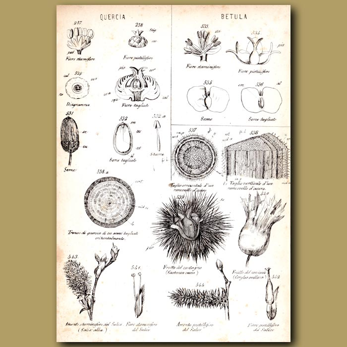 Antique print. Botany of Oak and Silver Birch