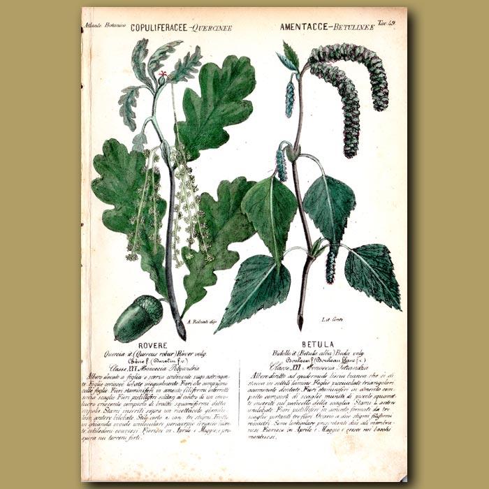 Antique print. Oak and Silver Birch