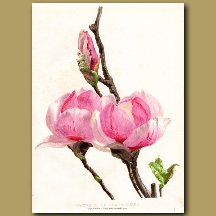 Antique print. Saucer Magnolia