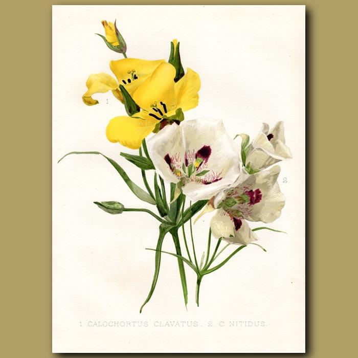 Antique print. Mariposa Lily