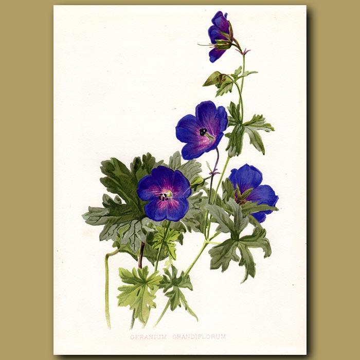 Antique print. Regal Pelargonium