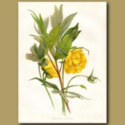 Ludlow's Tree Peony or God's Flower