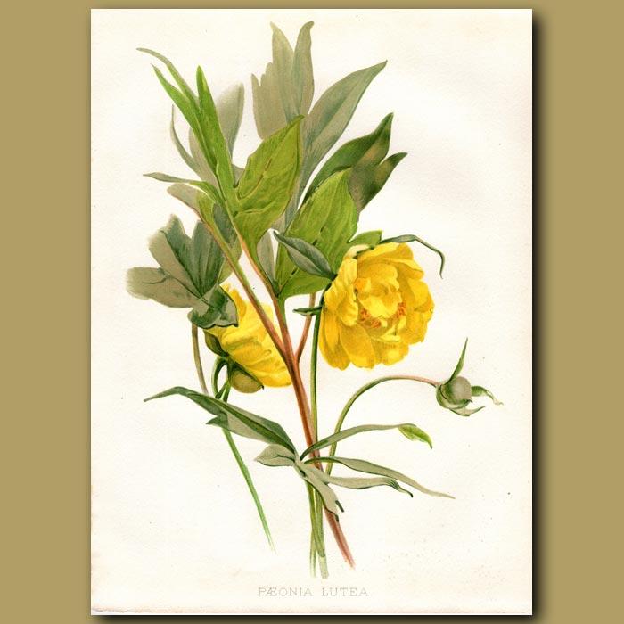 Antique print. Ludlow's Tree Peony or God's Flower