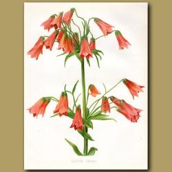 Orange Bell Lily