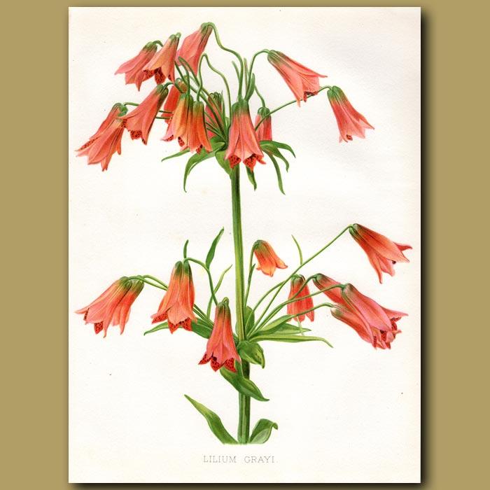 Antique print. Orange Bell Lily