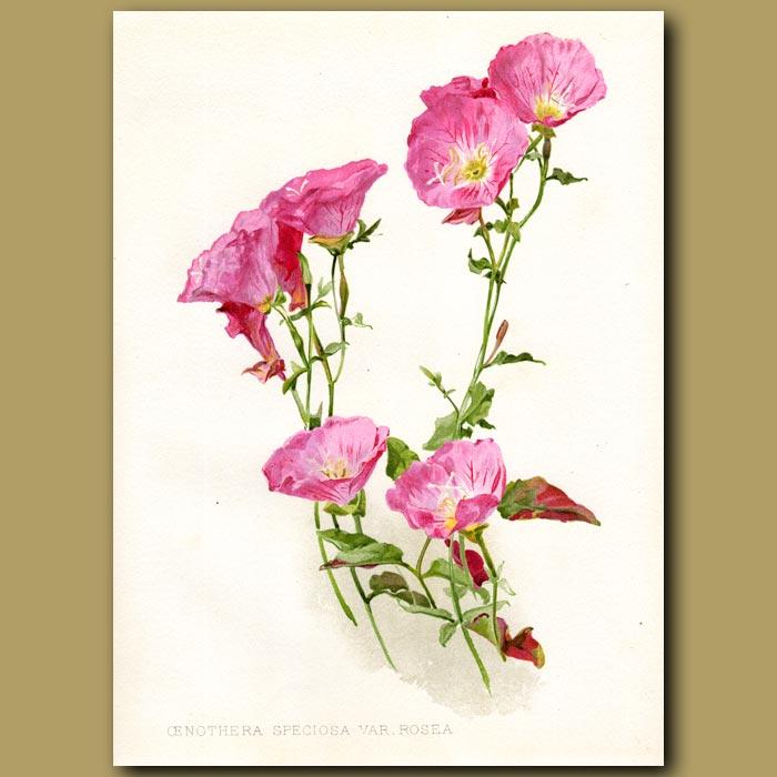 Antique print. Pink Evening Primrose