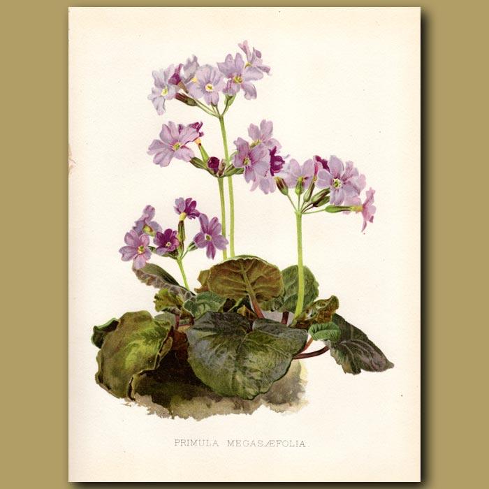 Antique print. Alpine Primrose
