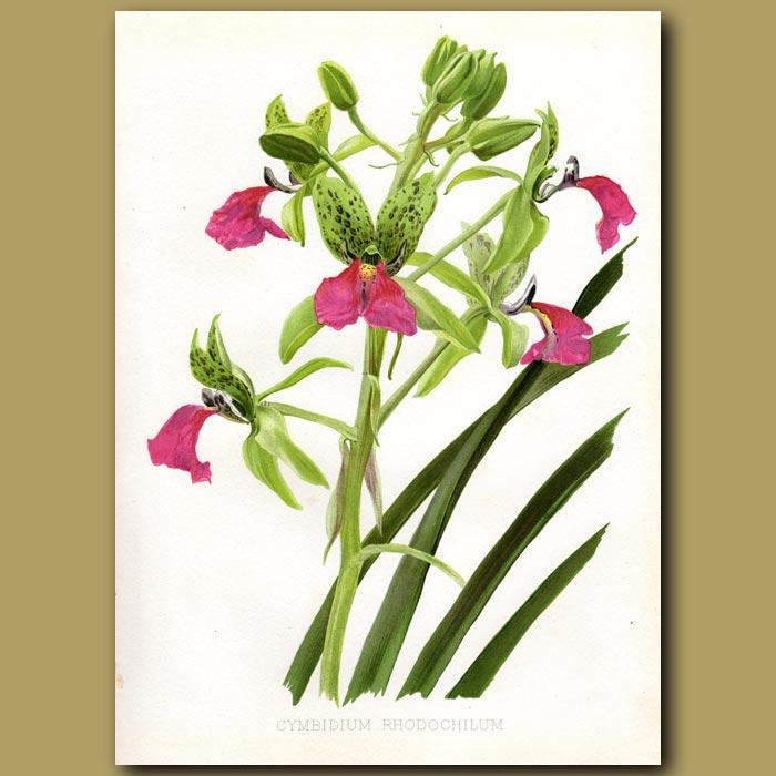 Antique print. Cymbidium Orchid