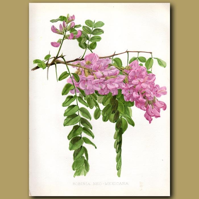 Antique print. New Mexican Rose Locust