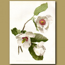 Siebold's Magnolia