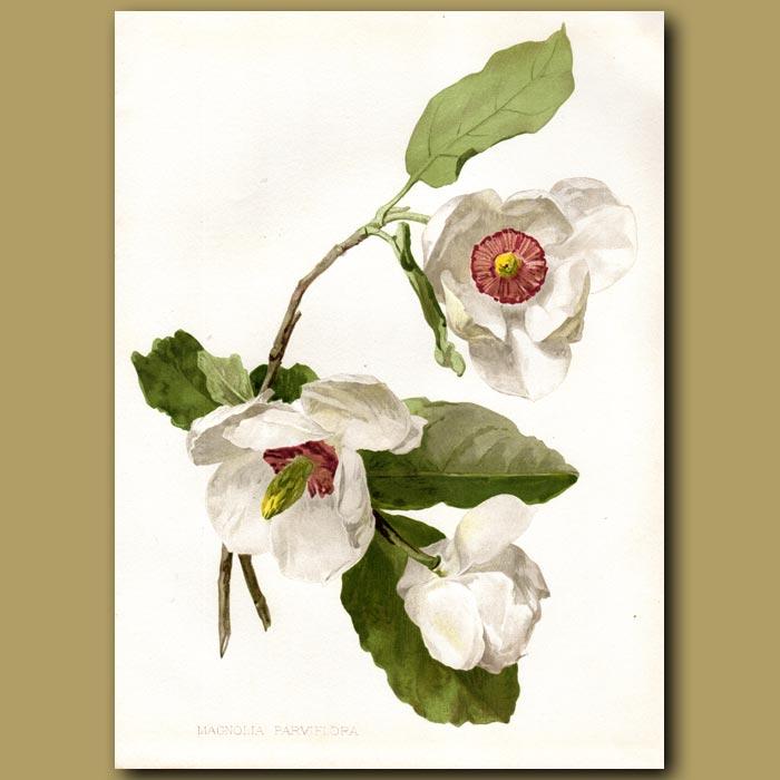 Antique print. Siebold's Magnolia