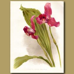 Lycaste Orchid