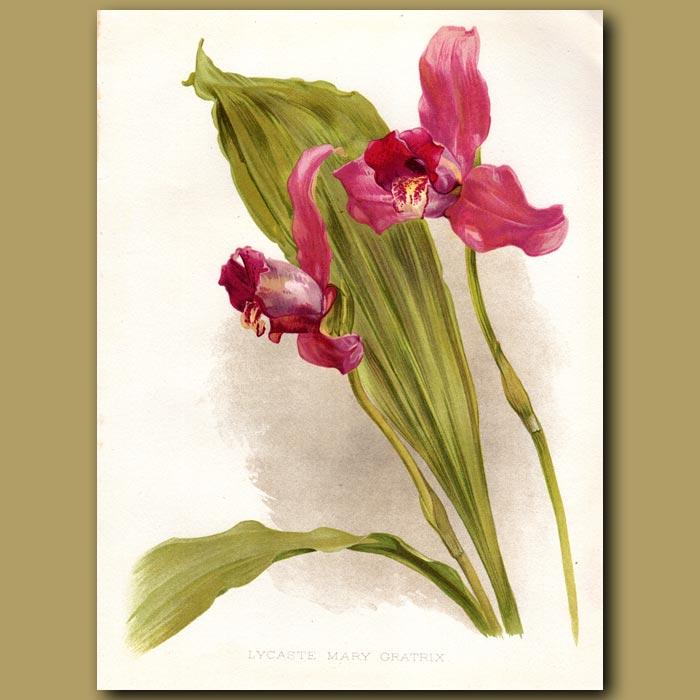 Antique print. Lycaste Orchid