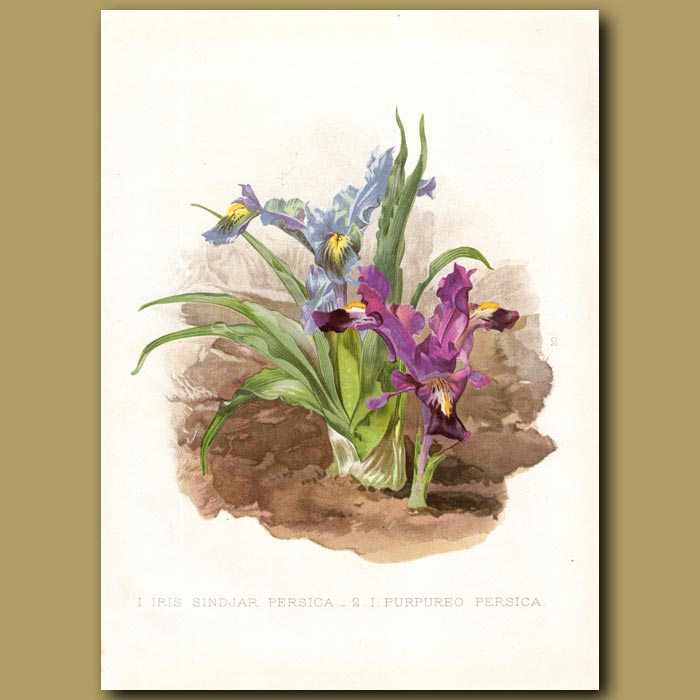 Antique print. Persian Iris