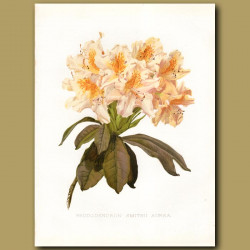 Smith's Rhododendron